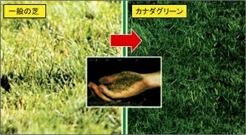 1年中常緑タフなNEWカナダグリーン